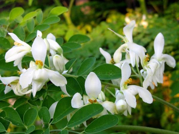 Un Miracolo della Natura: La Moringa Oleifera